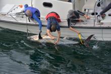 Succé för tonfiskmärkningsprojekt  - 14 blåfenade tonfiskar märkta i Sverige