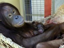 Orang-Utans: Auch Dinda jetzt Mutter eines kleinen Mädchens,  Sabas zweifacher Vater