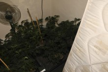 Cannabis farm worth more than £500,000 found following warrants in Birkenhead