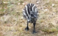 Erstes Emu-Küken im Zoo Rostock geboren