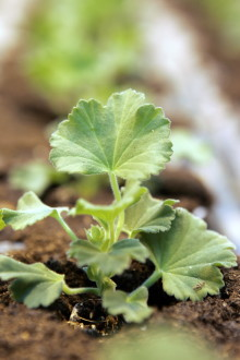 Nu planteras Årets Pelargon 2014