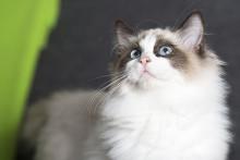 Så undviker du tandsjukdomar hos katten