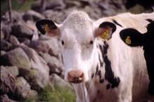 Flest kor i Gotlands kommun – och fler kor än människor i Borgholm