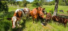 Efter Coops och Konsumentföreningen Stockholms satsning – nu dubbleras antalet gårdar med naturbeteskött