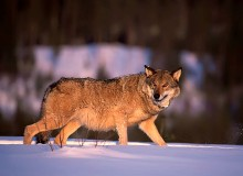 Swedish, Finnish and Russian wolves closely related