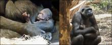 En gorillaunge har fötts på Kolmården