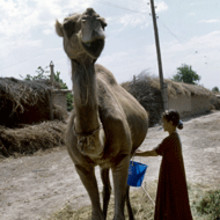 Camel cheese to lift rural Africa?