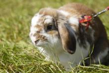 Kaniner drabbas av dödligt virus