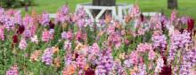 Årets Sommarblomma 2017 - sommarrabattens ljuvligaste palett får du med Lejongap