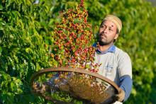 Kaffeodlare i upprop mot för låga priser