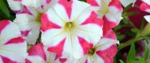 En Petunia med hjärtat på det rätta stället