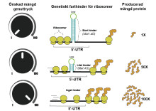 KTH-forskare bakom genetisk volymkontroll