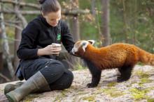 En röd panda har fötts på Kolmården. Pralin heter hon