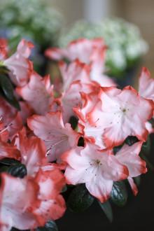 """Idéträdgården """"Azalea - Vårkänslor från Himalaya """""""