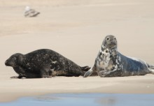 Seehunde und Kegelrobben auf Sylt