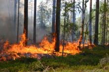 Naturvårdsåtgärder kan öka risken för barkborreskador