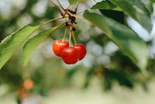 Research highlights powers of recovery with Montmorency cherries