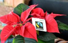 Första Fairtrade-märkta Julstjärnan i Sverige