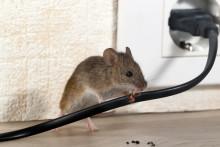 Nå må du sikre huset mot mus og rotter