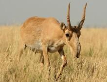Massdöd bland utrotningshotade saiga-antiloper efter ovanligt väder