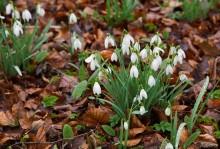 The Scottish Snowdrop Festival 2016: snowdrops take a star turn