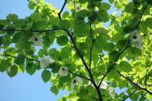 Nu blommar näsduksträdet i Olskroken!