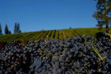 Winemakers dinner med Birichino på Gotthards Krog