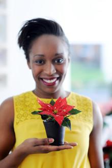 Julstjärnan, en internationell blomma som överbryggar kulturella och traditionella skillnader