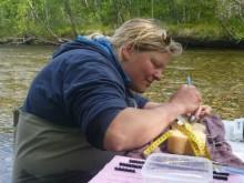 Rapporten om laksefiskers vandring i Bøkfjorden og Neidenfjorden