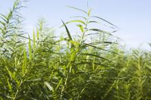 Klimatnyttan med energi från flisad träbiomassa har beräknats
