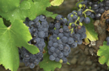 New kosher grape skin extract expands Chr. Hansen's palette of natural colors