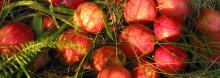 Fallfruktsinsamling på återvinningen även i år
