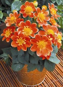 Månadens blomma – juni 2009