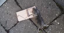 Hvis du hører krafselyder i veggen kan det være rotter