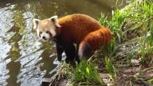 En röd panda eftersöks på Kolmården