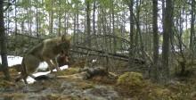 Grensevilt – svensk-norskt projekt om viltförvaltning