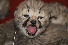 Gepardungarna i Borås Djurpark tre veckor gamla