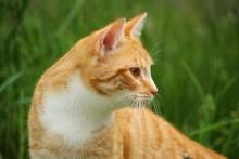 Så tyder du kattens öron!