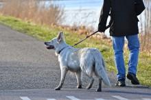 Importerade gatuhundar har bristande rabiesskydd – kan utgöra risk