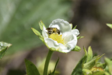 Honungsprogram bidrar till bihälsa
