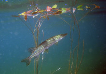 Glädjande om insjöfisk: Kvicksilverhotet kan vara på väg att blåsa bort
