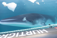 Hurtigruten Expeditions Partners with California Ocean Alliance to Study and Protect Whales in Antarctica