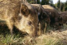 Så jobbar Sverige mot afrikansk svinpest
