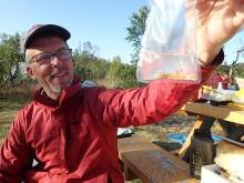 Kan den fremmede arten pukkellaks ha positive effekter på våre laksefisk?