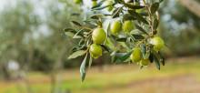 Was ist eigentlich Olivenöl?