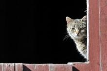 Jordbruksverket drar tillbaka godkännande av avelsprogram för katt