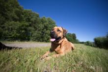 Fästingsäsongen är här – hundar mest utsatta
