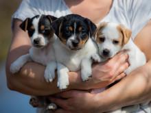 Varannan hunduppfödare märker av ökat valpintresse
