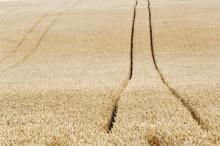 Skörden av ekologiskt odlad spannmål ökar