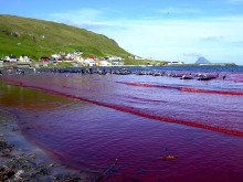 Boykottaufruf gegenüber Tui Cruises wegen Anlandungen auf den Färöer-Inseln nach Walmassakern
